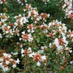 Clusters of tiny white flowers on abelia. Photo: Julie McConnell, UF/IFAS