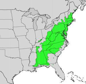 Naïve range of mountain laurel.