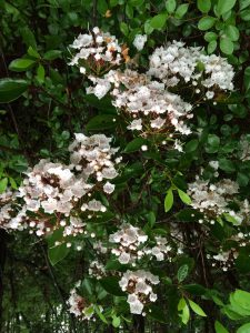 Mountain laurel. Photo credit: Sheila Dunning, UF/IFAS Extension.