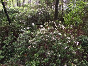 Mountain laurel in its native habitat. Photo credit: Sheila Dunning, UF/IFAS Extension.