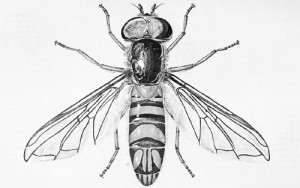 An adult male hover fly, Allograpta obliqua (Say). Graphic by Division of Plant Industry.