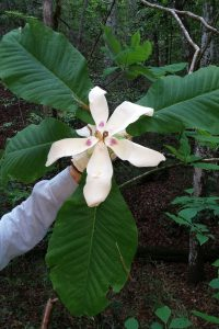 Ashe magnolia. Photo credit: Gary Knox, UF/IFAS.