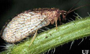 Adult brown lacewing (Neuroptera: Hemerobiidae). Photograph by University of Florida.
