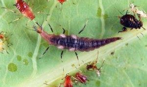 Larva of a brown lacewing (Neuroptera: Hemerobiidae) preparing to attack and feed on an aphid. The black-colored aphid to the right was probably parasitized by a wasp. Photograph by Lyle J. Buss, University of Florida.