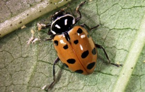 Newly emerged adult Hippodamia convergens showing typical body markings. Photograph by Luis F. Aristizábal, University of Florida.