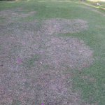 Zoysiagrass Becoming More Popular in the Panhandle