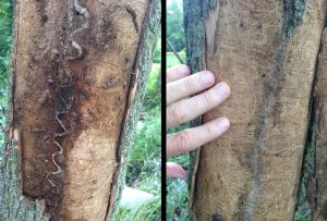 EAB Damage (left) VS Other Borer Damage. Photo Credit: Texas A&M University