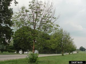 Michigan ash tree showing decline due to Emerald ash borer. Photo Credit: USDA