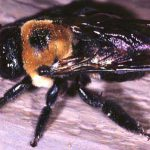 Carpenter Bees Nest in Dead Wood – Including Houses