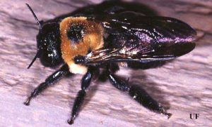 Adult large carpenter bee, Xylocopa sp. Photograph by Paul M. Choate, University of Florida.