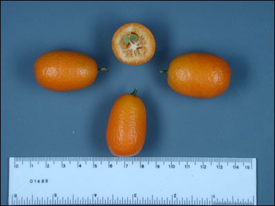Citrus Choices for the Panhandle