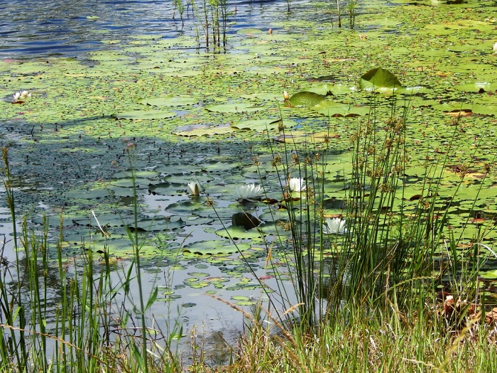 Pond Management Trainings Tuesday Evenings May 31st and June 7th