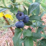 'Tis the Season for U-Pick Blueberries!