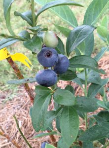 'Titan' blueberries at Blue Sky Berry Farm. Photo by Molly Jameson.