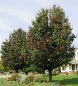 Mature Ornamental Pears infected with Fireblight
