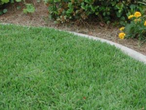 Properly Mowed Empire Zoysiagrass - Image Credit Laurie E. Trenholm