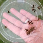 Adult and nymphs of mole crickets. Photo: Julie McConnell, UF/IFAS