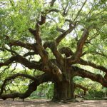 Common Live Oak Problems and Solutions