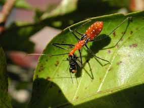 A milkweed assassin bug.