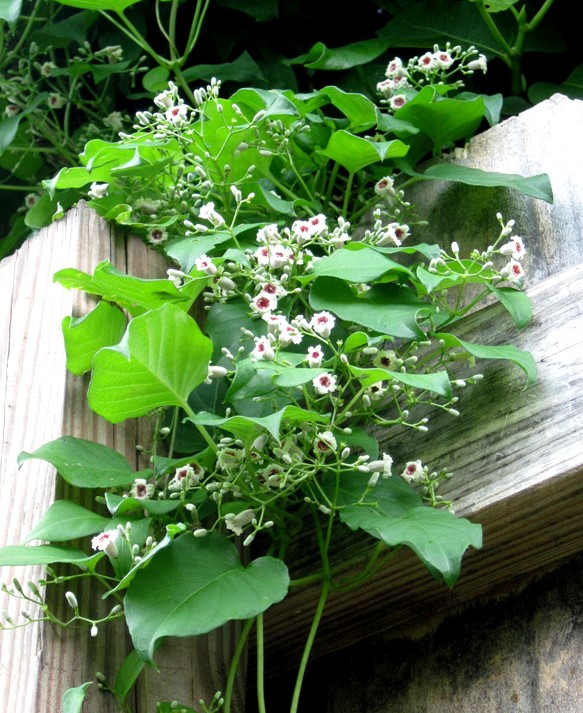 Skunkvine – A Stinky Invasive Plant
