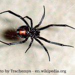 Female-Black-Widow