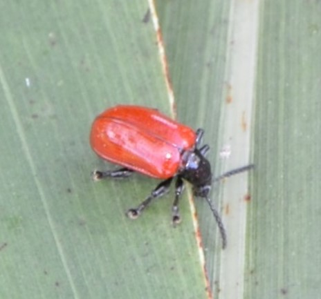 Welcome the Air Potato Leaf Beetle