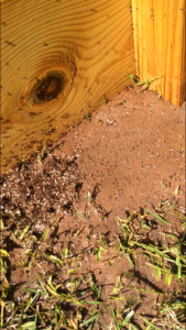 Fire ants can become a problem around and in raised vegetable gardens. Photo by Molly Jameson.