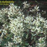 Saltbush–a Native Beauty, of Sorts