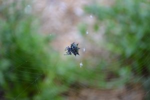 Spider working on her web. Photo by Beth Bolles