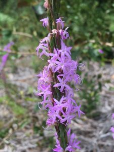 Chapman's Blazing Star (Liatris chapmanii). Photo credit: Mary Derrick, UF/IFAS.