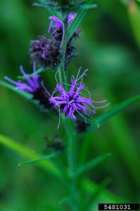 Scaly blazing star (Liatris squarrosa). Photo credit: Vern Wilkins, Indiana University, Bugwood.com.