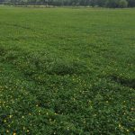 Perennial Peanut, a Great Choice for Panhandle Pastures and Landscapes