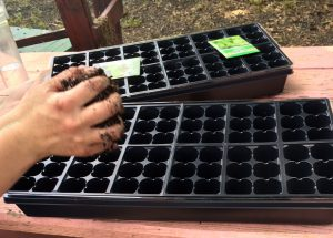 Seed many brassicas and lettuce into flats. Photo by Molly Jameson.