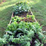 My Fall Vegetable Garden