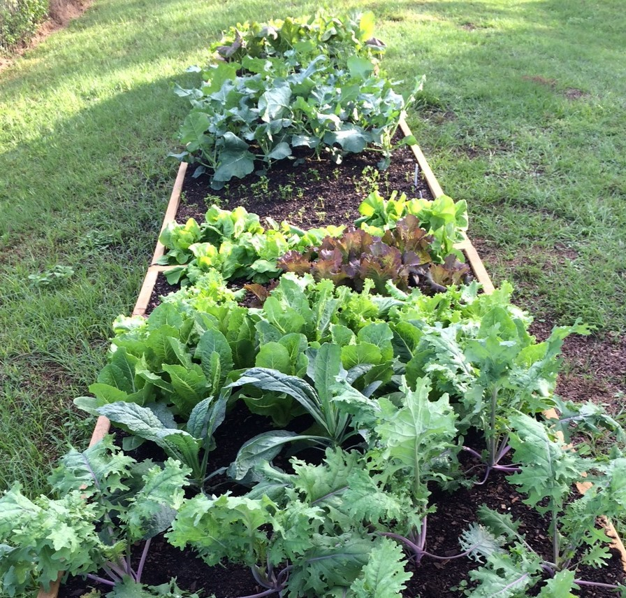 My Fall Vegetable Garden