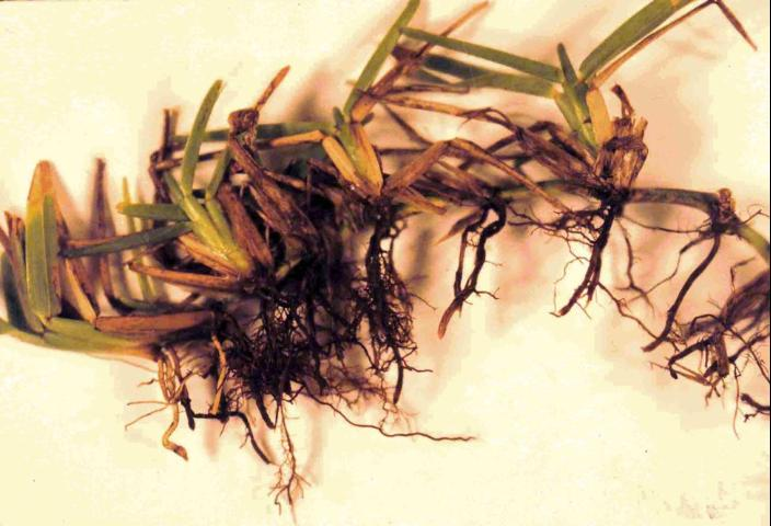 St. Augustinegrass roots rotted due to take-all root rot. (Photo Credit: IFAS Photos)