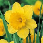 Jackson County Daffodil Sale!