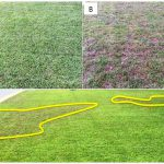 Figure 1. Centipedegrass growing during the summer in Florida before herbicide application (A), 3 weeks after herbicide (sulfentrazone and metsulfuron-methyl) application (B). Herbicide injury pattern with highlighted areas showing where sand pockets caused drought and heat stress that contributed to herbicide injury (C).