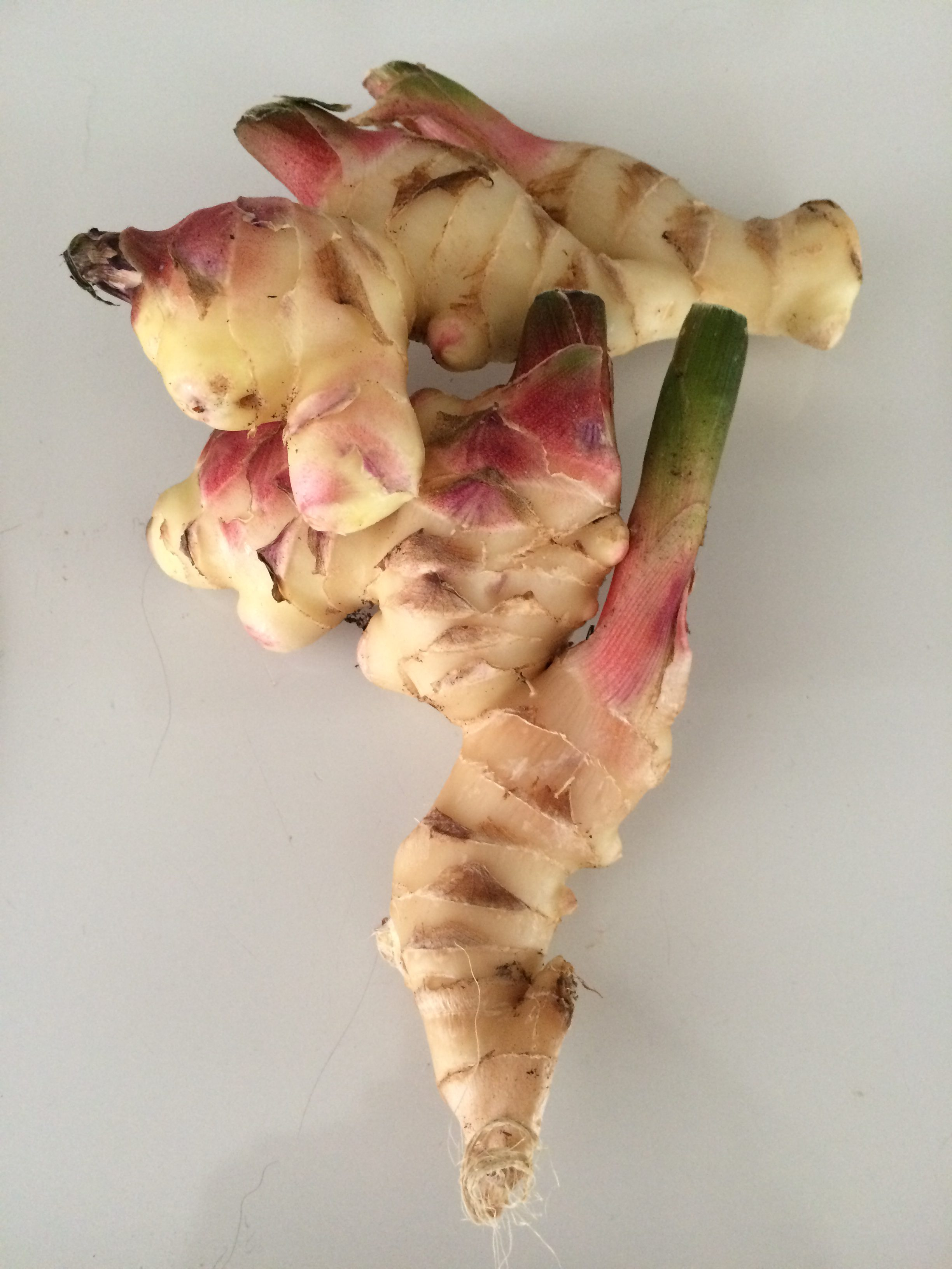 Growing Ginger Root in North Florida