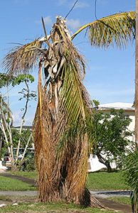 Figure 1: Palm damage after storm event. Credit: Edward F. Gilman, UF/IFAS.