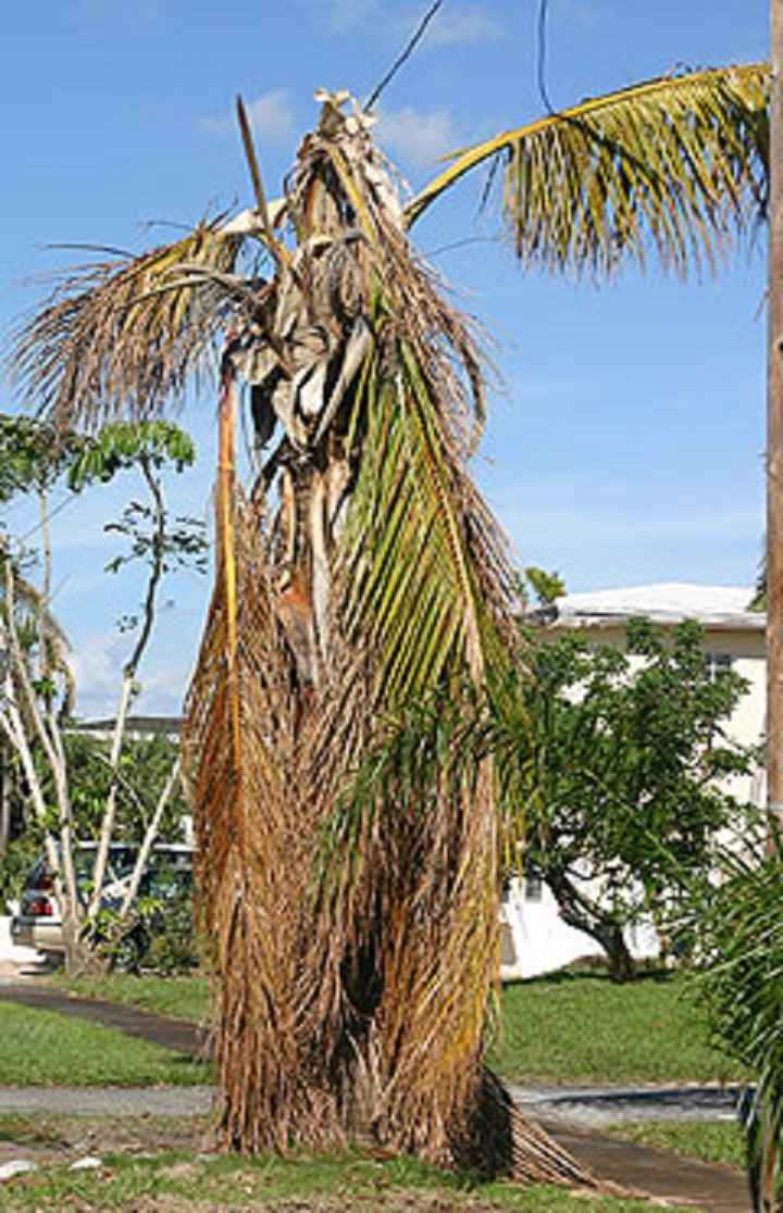 How to Care for Palms After the Storm