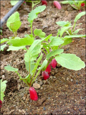 Gardening Baby Steps With Radishes Gardening In The