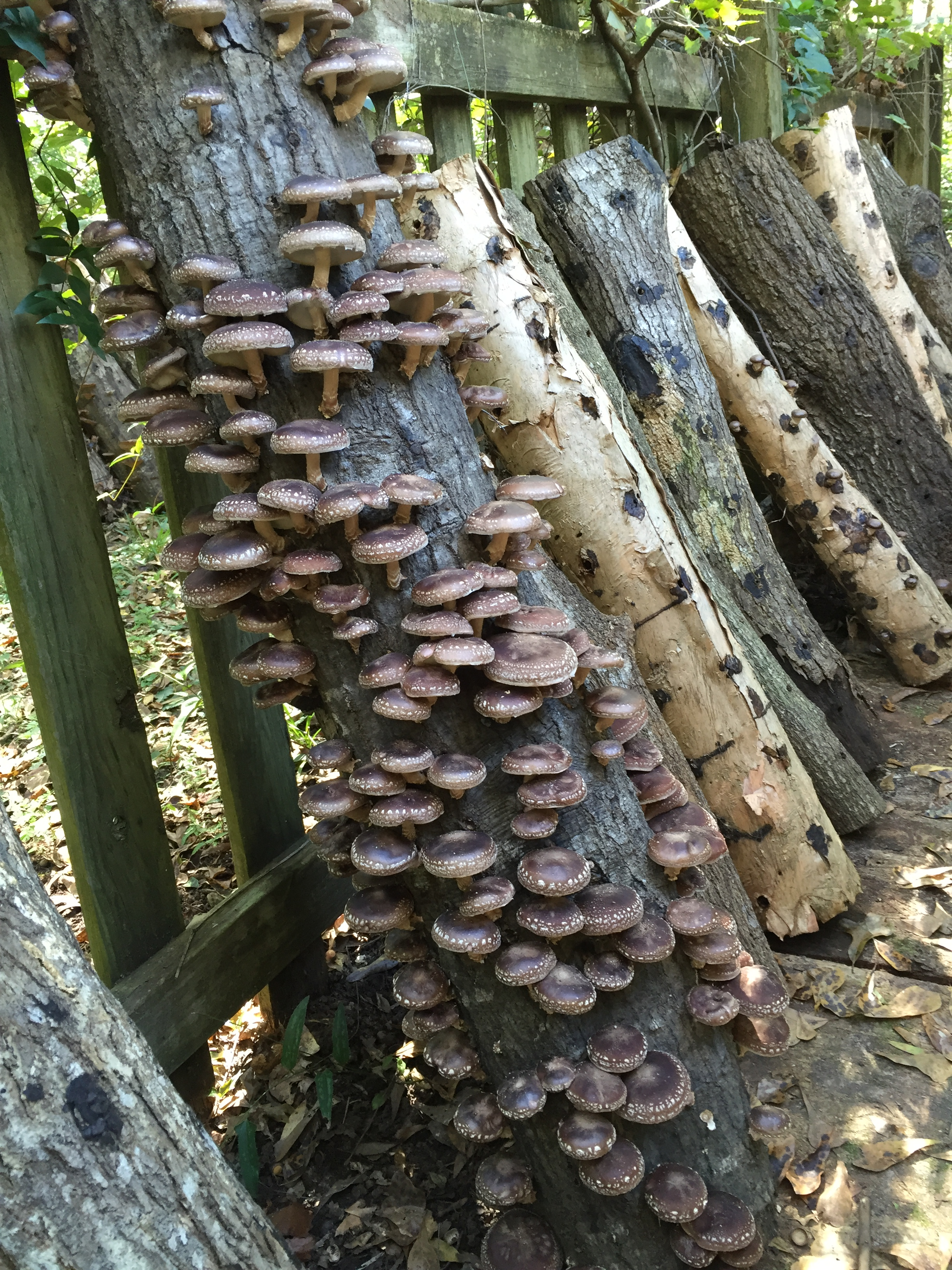 Grow Shiitake Mushrooms in Your Backyard