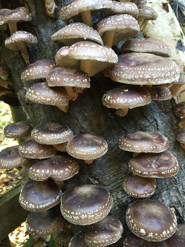 Shiitake mushrooms growing from an oak log. Photo by Stephen Hight.