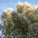 Saltbush – A Late Blooming Native Shrub