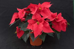 A beautiful poinsettia plant.