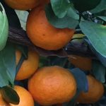 When is the Correct Time to Harvest Satsumas?