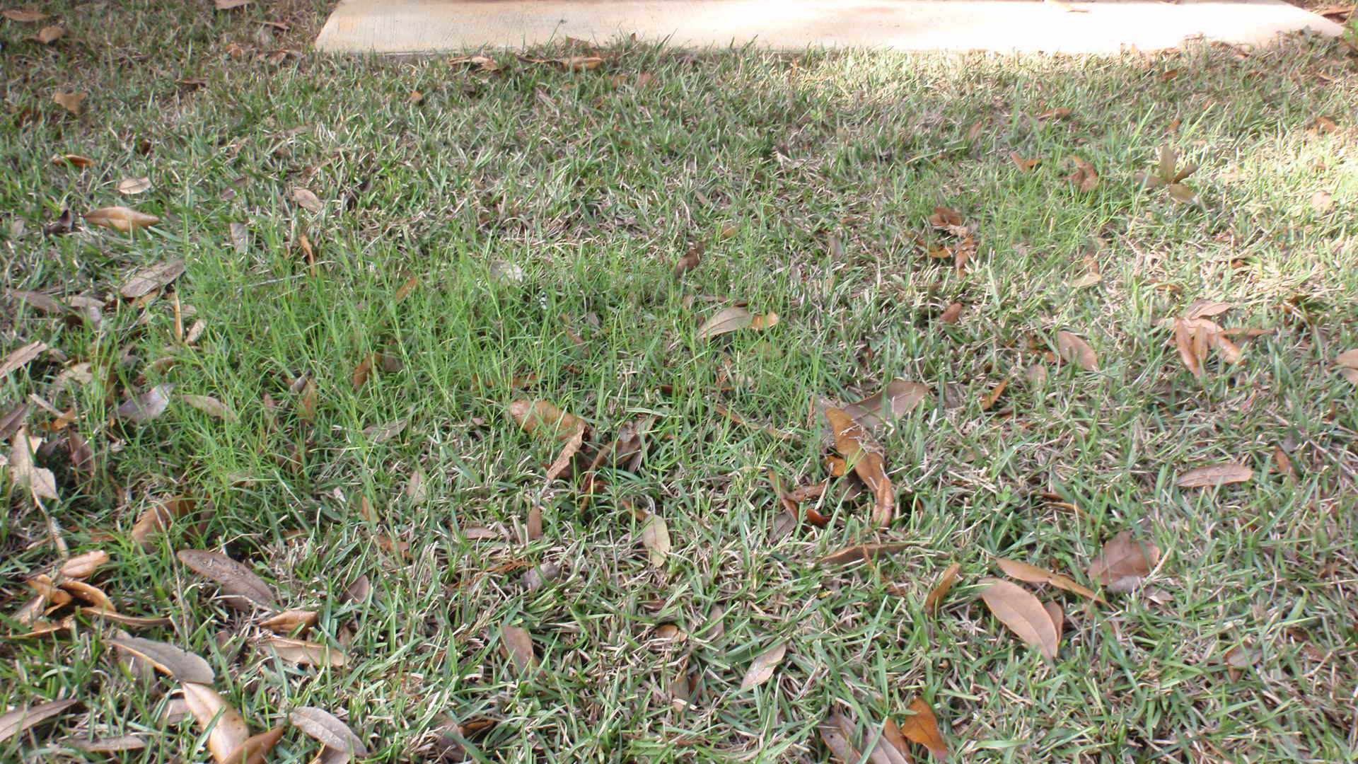 Bermudagrass Growing In A Piece Of Centipede Sod. This Piece Should Have  Been Removed During Installation To Prevent The Bermudagrass From Taking  Over A ...