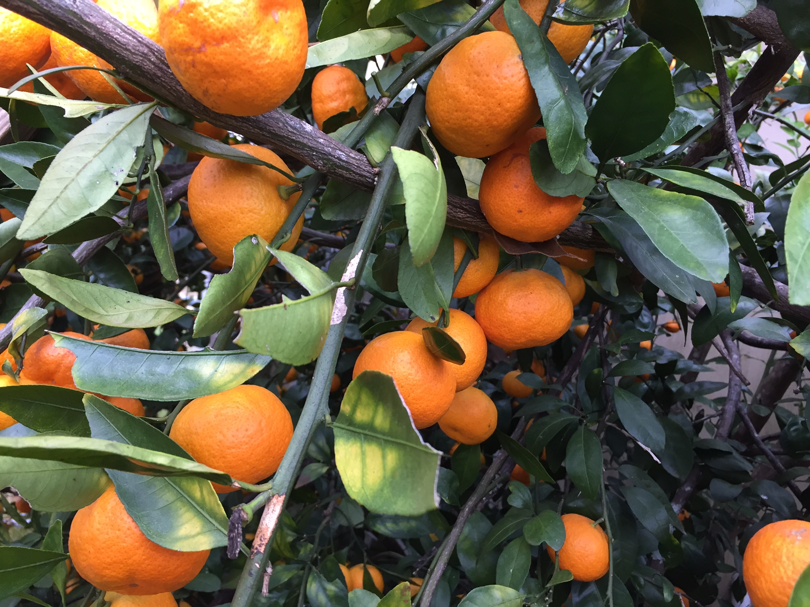 Dooryard Citrus Care for February