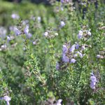 Native Shrub Option for Sandy Soils
